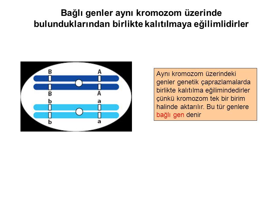 Bağlı genler aynı kromozom üzerinde bulunduklarından birlikte kalıtılmaya eğilimlidirler Aynı kromozom üzerindeki genler genetik çaprazlamalarda birli