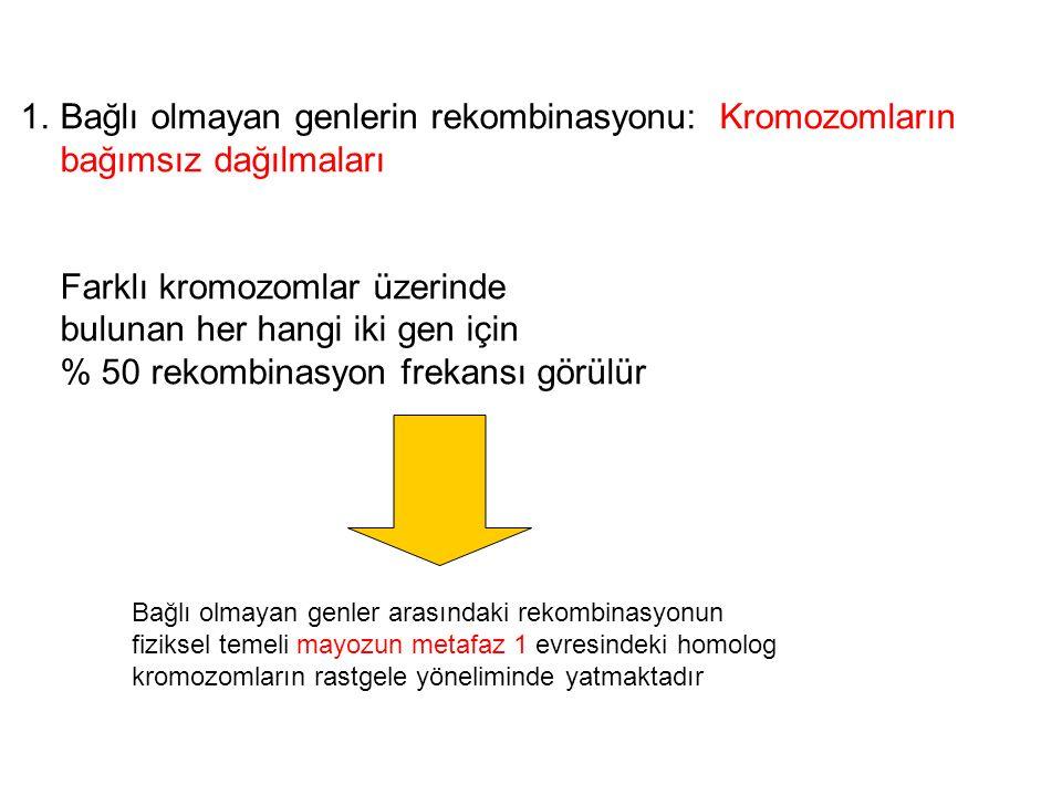 1.Bağlı olmayan genlerin rekombinasyonu: Kromozomların bağımsız dağılmaları Farklı kromozomlar üzerinde bulunan her hangi iki gen için % 50 rekombinas