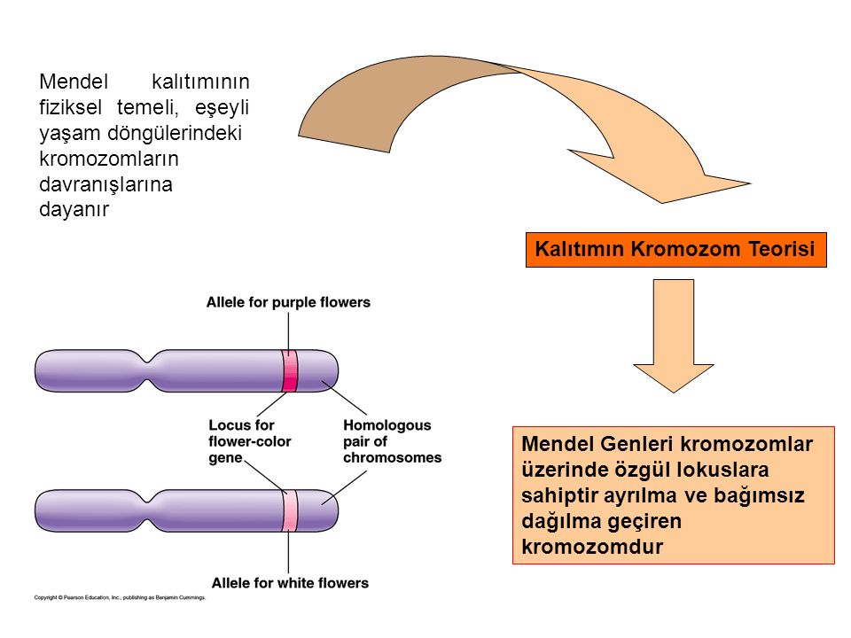 Mendel kalıtımının fiziksel temeli, eşeyli yaşam döngülerindeki kromozomların davranışlarına dayanır Kalıtımın Kromozom Teorisi Mendel Genleri kromozo