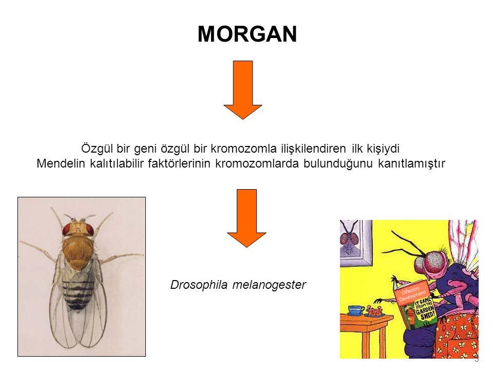 MORGAN Özgül bir geni özgül bir kromozomla ilişkilendiren ilk kişiydi Mendelin kalıtılabilir faktörlerinin kromozomlarda bulunduğunu kanıtlamıştır Dro