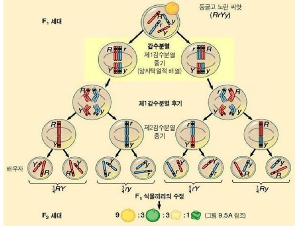 GEN HARİTALAMA Rekombinasyon frekansı?