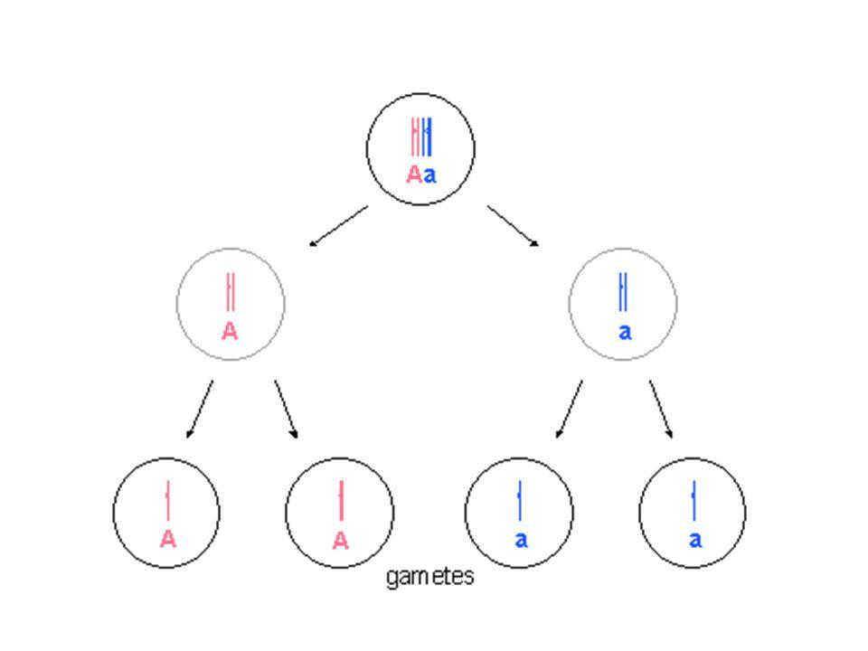 Eşey Kromozomları Eşeyin (cinsiyetin) kromozomal temeli organizmaya göre farklılıklar gösterir