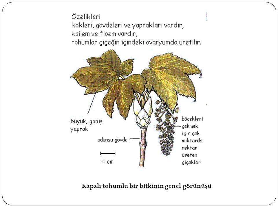 Kapalı tohumlu bir bitkinin genel görünü ş ü
