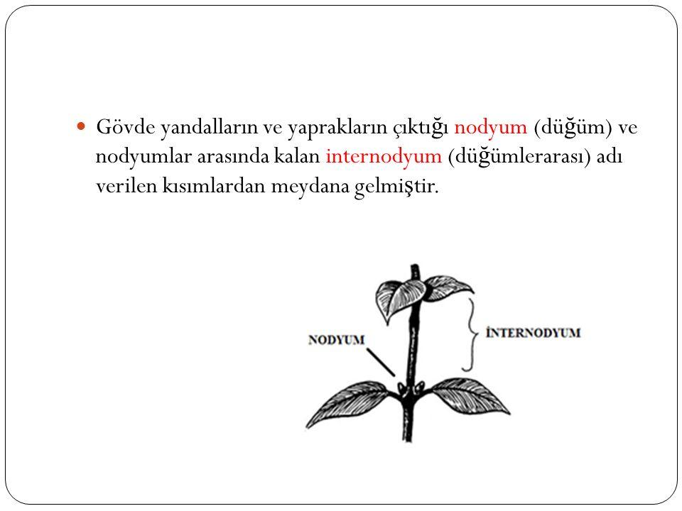 Gövde yandalların ve yaprakların çıktı ğ ı nodyum (dü ğ üm) ve nodyumlar arasında kalan internodyum (dü ğ ümlerarası) adı verilen kısımlardan meydana