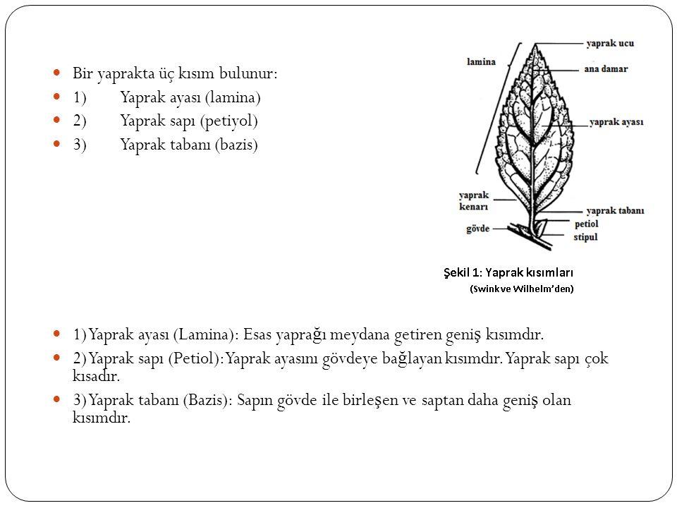 Bir yaprakta üç kısım bulunur: 1)Yaprak ayası (lamina) 2)Yaprak sapı (petiyol) 3)Yaprak tabanı (bazis) 1) Yaprak ayası (Lamina): Esas yapra ğ ı meydan