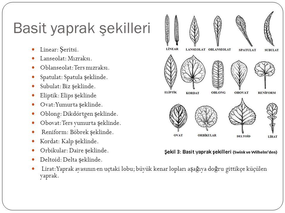 Basit yaprak şekilleri Linear: Ş eritsi. Lanseolat: Mızraksı. Oblanseolat: Ters mızraksı. Spatulat: Spatula ş eklinde. Subulat: Biz ş eklinde. Eliptik