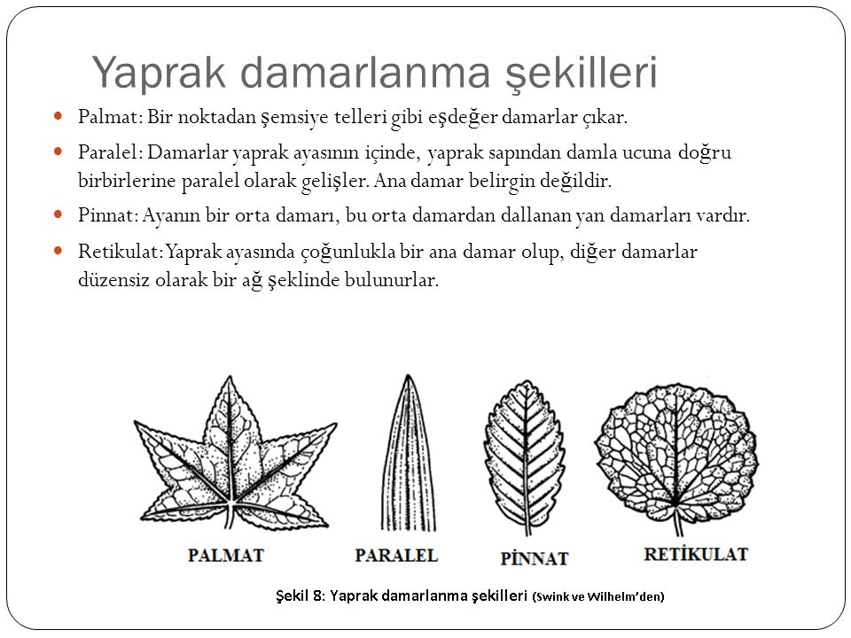 Yaprak damarlanma şekilleri Palmat: Bir noktadan ş emsiye telleri gibi e ş de ğ er damarlar çıkar. Paralel: Damarlar yaprak ayasının içinde, yaprak sa