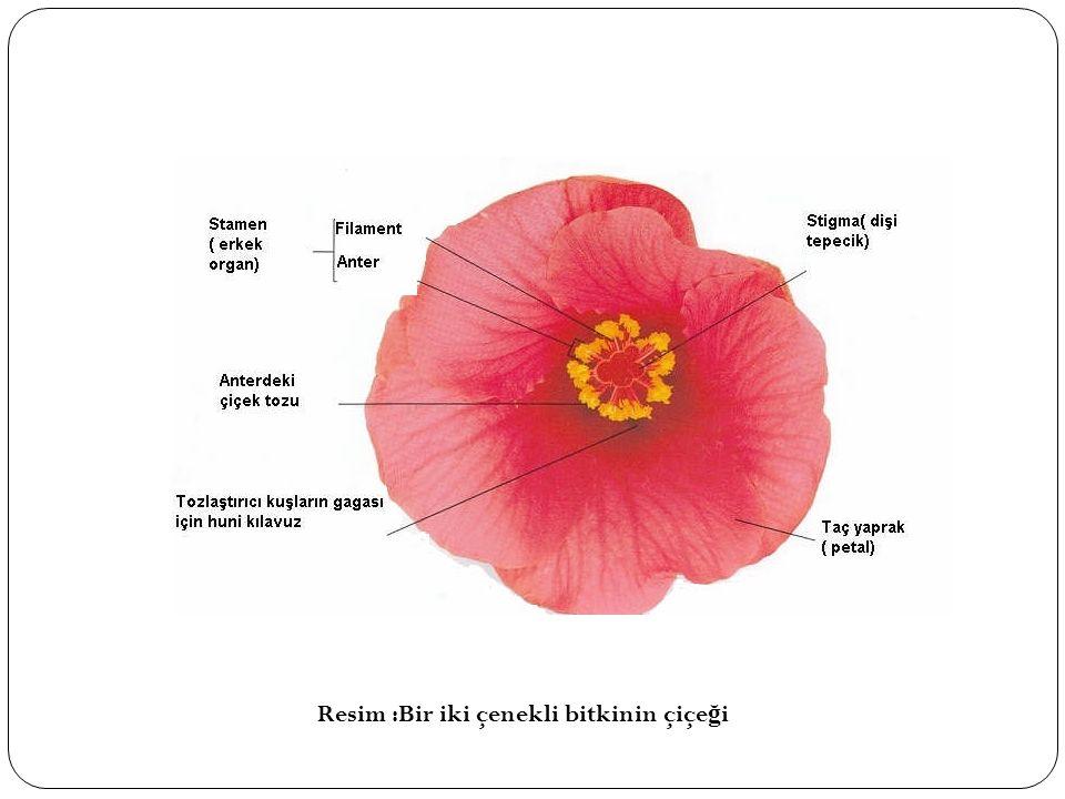 Resim :Bir iki çenekli bitkinin çiçe ğ i