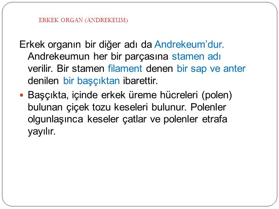 Erkek organın bir diğer adı da Andrekeum'dur. Andrekeumun her bir parçasına stamen adı verilir. Bir stamen filament denen bir sap ve anter denilen bir
