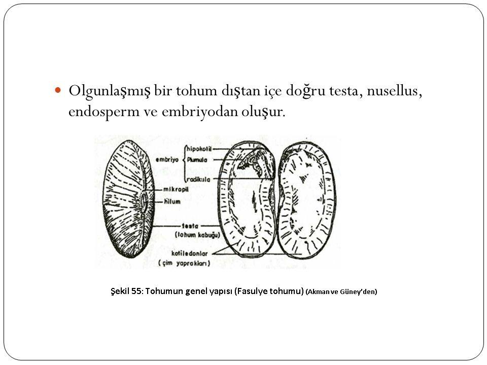 Olgunla ş mı ş bir tohum dı ş tan içe do ğ ru testa, nusellus, endosperm ve embriyodan olu ş ur.