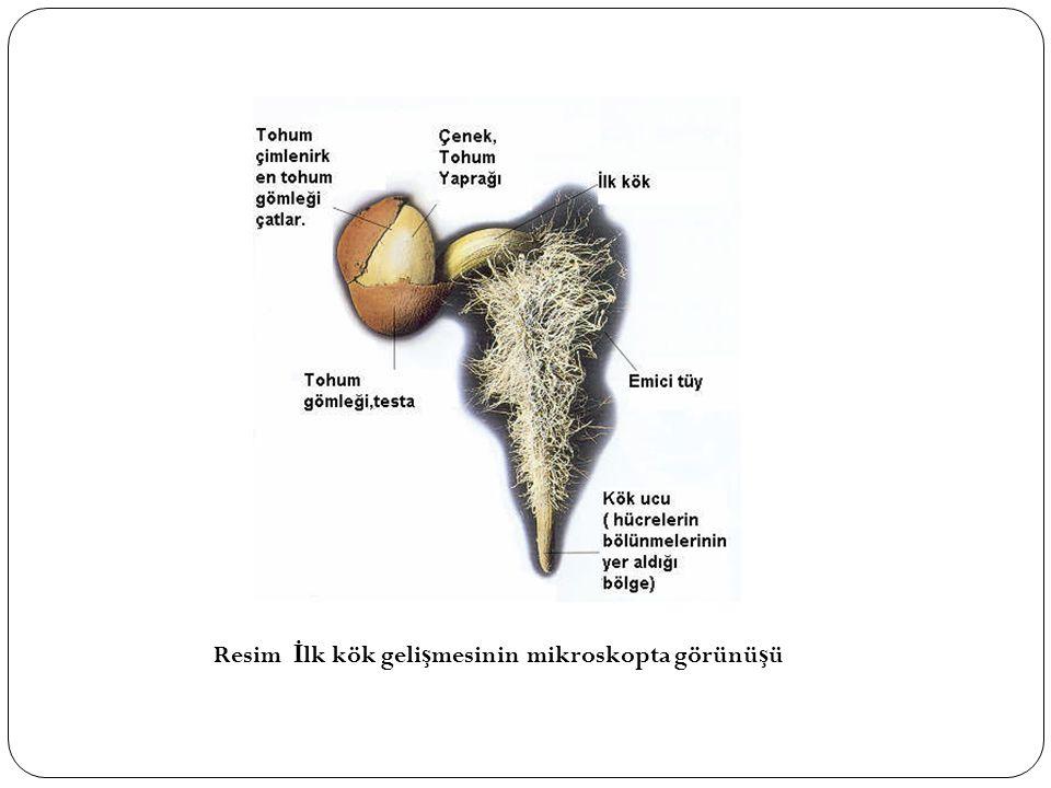 Tohumun asıl önemli kısmını olu ş turan gelecekte yeni bitkiyi verecek olan embriyoda; kotiledonlar (çenekler), plumula (il vejetasyon noktası), radikula (kökçük) ve radikula ile plumula arasındaki kalan bölge, hipokotil bulunur.