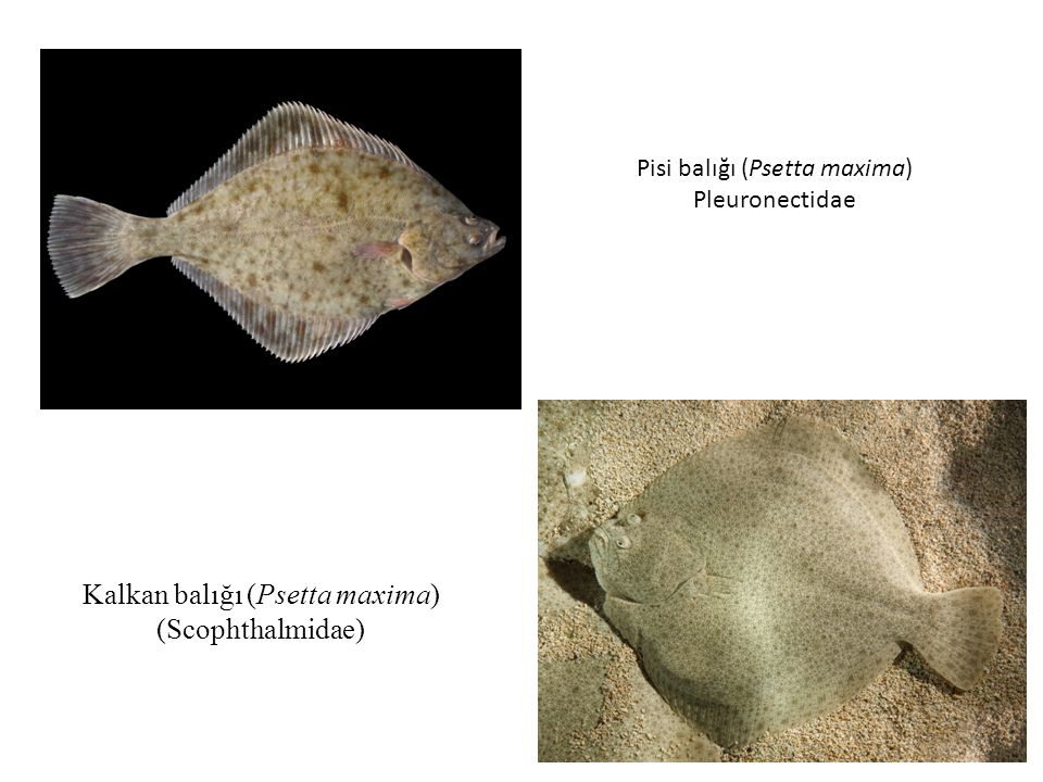 Kalkan balığı (Psetta maxima) (Scophthalmidae) Pisi balığı (Psetta maxima) Pleuronectidae