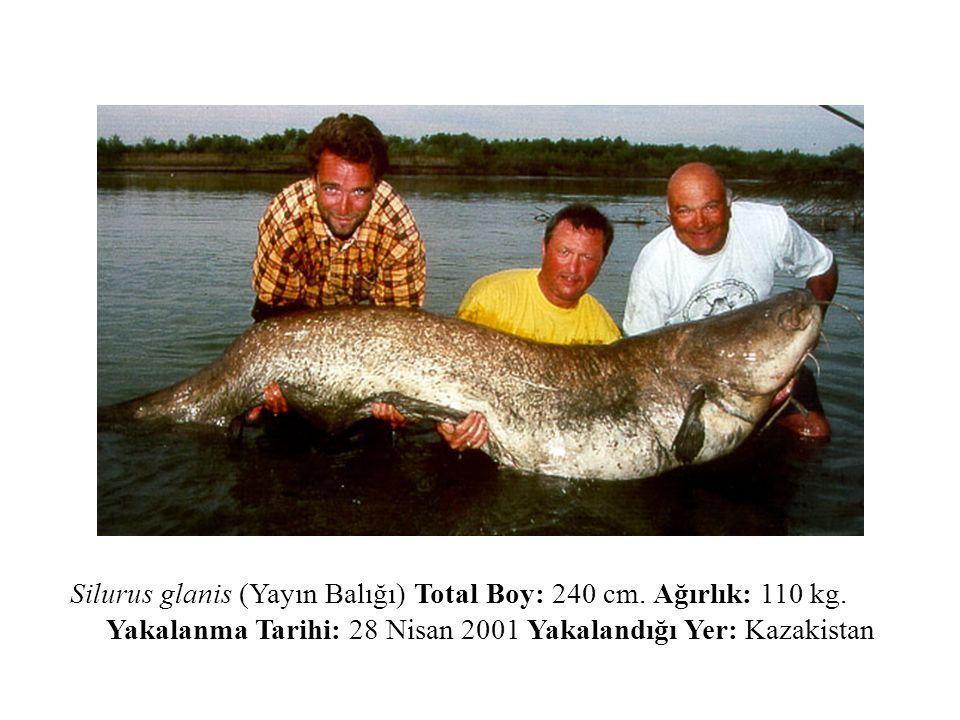 Silurus glanis (Yayın Balığı) Total Boy: 240 cm. Ağırlık: 110 kg. Yakalanma Tarihi: 28 Nisan 2001 Yakalandığı Yer: Kazakistan