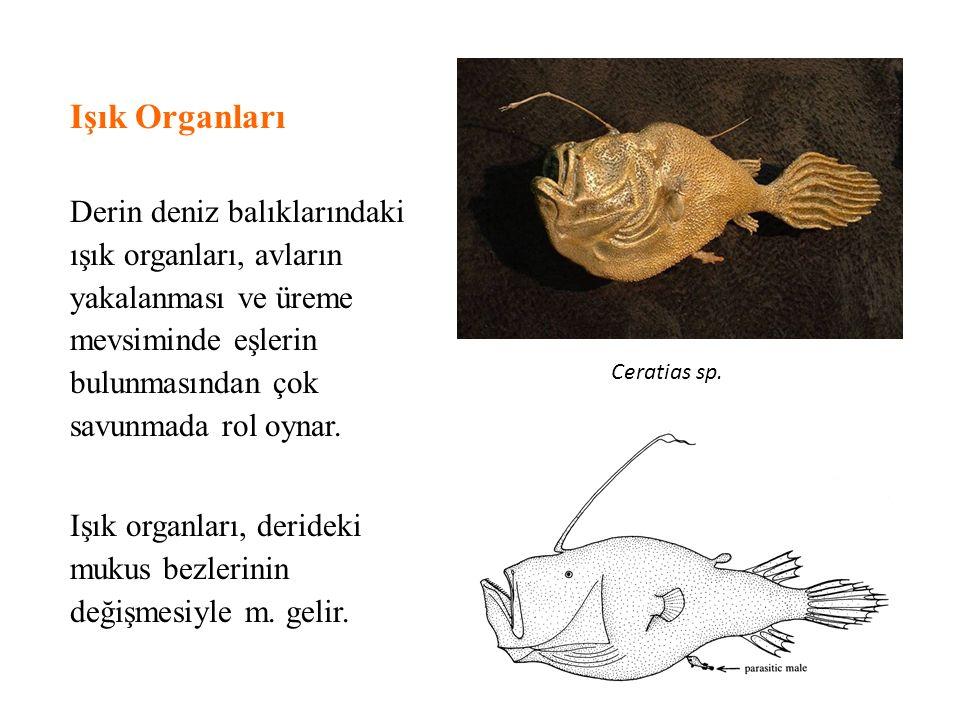 Işık Organları Derin deniz balıklarındaki ışık organları, avların yakalanması ve üreme mevsiminde eşlerin bulunmasından çok savunmada rol oynar. Işık