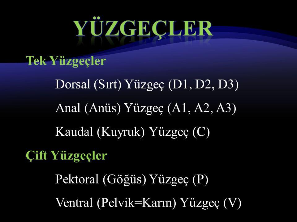 Tek Yüzgeçler Dorsal (Sırt) Yüzgeç (D1, D2, D3) Anal (Anüs) Yüzgeç (A1, A2, A3) Kaudal (Kuyruk) Yüzgeç (C) Çift Yüzgeçler Pektoral (Göğüs) Yüzgeç (P) Ventral (Pelvik=Karın) Yüzgeç (V)