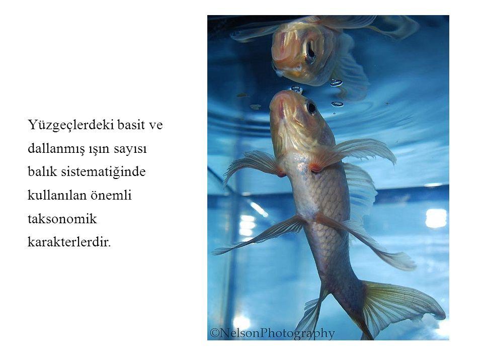 Yüzgeçlerdeki basit ve dallanmış ışın sayısı balık sistematiğinde kullanılan önemli taksonomik karakterlerdir.