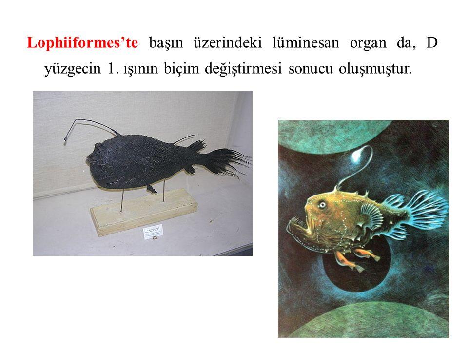 Lophiiformes'te başın üzerindeki lüminesan organ da, D yüzgecin 1.