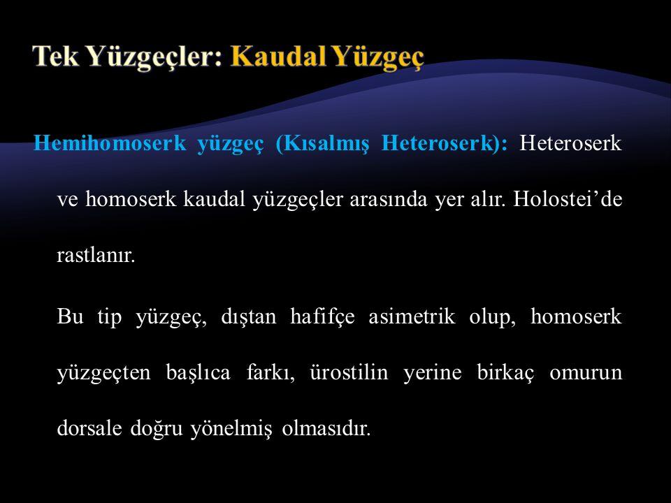 Hemihomoserk yüzgeç (Kısalmış Heteroserk): Heteroserk ve homoserk kaudal yüzgeçler arasında yer alır.