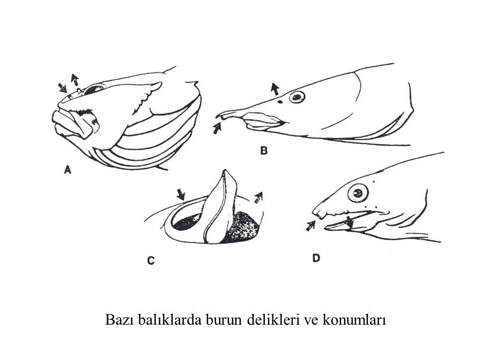 Bazı balıklarda burun delikleri ve konumları