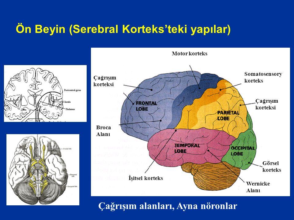 İşitsel korteks Motor korteks Broca Alanı Çağrışım korteksi Somatosensory korteks Çağrışım korteksi Görsel korteks Wernicke Alanı Ön Beyin (Serebral Korteks'teki yapılar) Çağrışım alanları, Ayna nöronlar