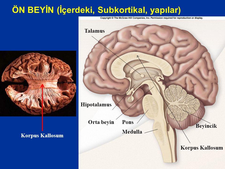 ÖN BEYİN (İçerdeki, Subkortikal, yapılar) Beyincik Medulla Pons Talamus Orta beyin Hipotalamus Korpus Kallosum