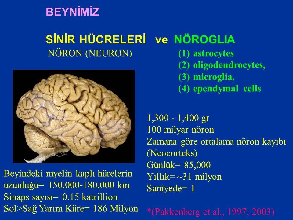 BEYNİMİZ SİNİR HÜCRELERİ ve NÖROGLIA NÖRON (NEURON)(1)astrocytes (2)oligodendrocytes, (3)microglia, (4)ependymal cells 1,300 - 1,400 gr 100 milyar nöron Zamana göre ortalama nöron kayıbı (Neocorteks) Günlük= 85,000 Yıllık= ~31 milyon Saniyede= 1 *(Pakkenberg et al., 1997; 2003) Beyindeki myelin kaplı hürelerin uzunluğu= 150,000-180,000 km Sinaps sayısı= 0.15 katrillion Sol>Sağ Yarım Küre= 186 Milyon