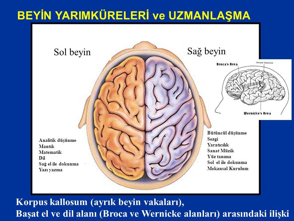 BEYİN YARIMKÜRELERİ ve UZMANLAŞMA Sağ beyin Sol beyin Analitik düşünme Mantık Matematik Dil Sağ el ile dokunma Yazı yazma Bütüncül düşünme Sezgi Yaratıcılık Sanat Müzik Yüz tanıma Sol el ile dokunma Mekansal Kurulum Korpus kallosum (ayrık beyin vakaları), Başat el ve dil alanı (Broca ve Wernicke alanları) arasındaki ilişki