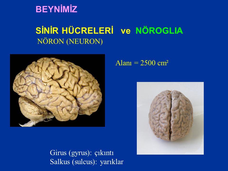  Albert Einstein'ın beyni BEYİN YAPILARI VE İŞLEVLERİ Beyin Araştırmalarında Kullanılan Yöntemler
