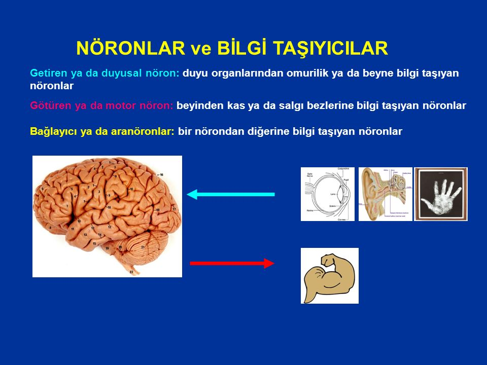 Getiren ya da duyusal nöron: duyu organlarından omurilik ya da beyne bilgi taşıyan nöronlar Götüren ya da motor nöron: beyinden kas ya da salgı bezlerine bilgi taşıyan nöronlar Bağlayıcı ya da aranöronlar: bir nörondan diğerine bilgi taşıyan nöronlar NÖRONLAR ve BİLGİ TAŞIYICILAR