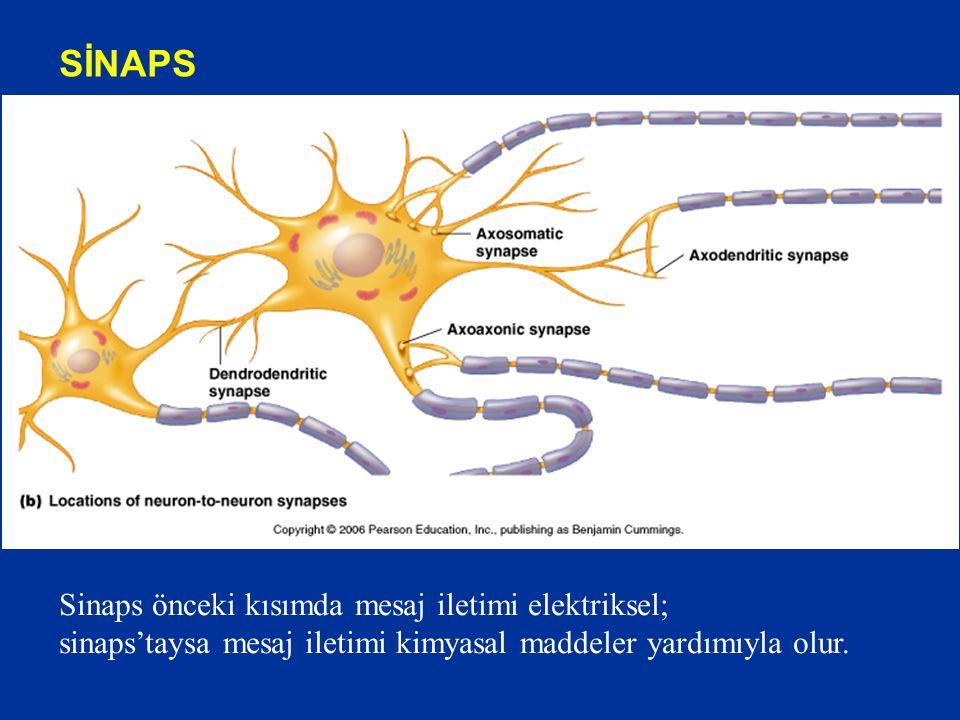 SİNAPS Sinaps önceki kısımda mesaj iletimi elektriksel; sinaps'taysa mesaj iletimi kimyasal maddeler yardımıyla olur.