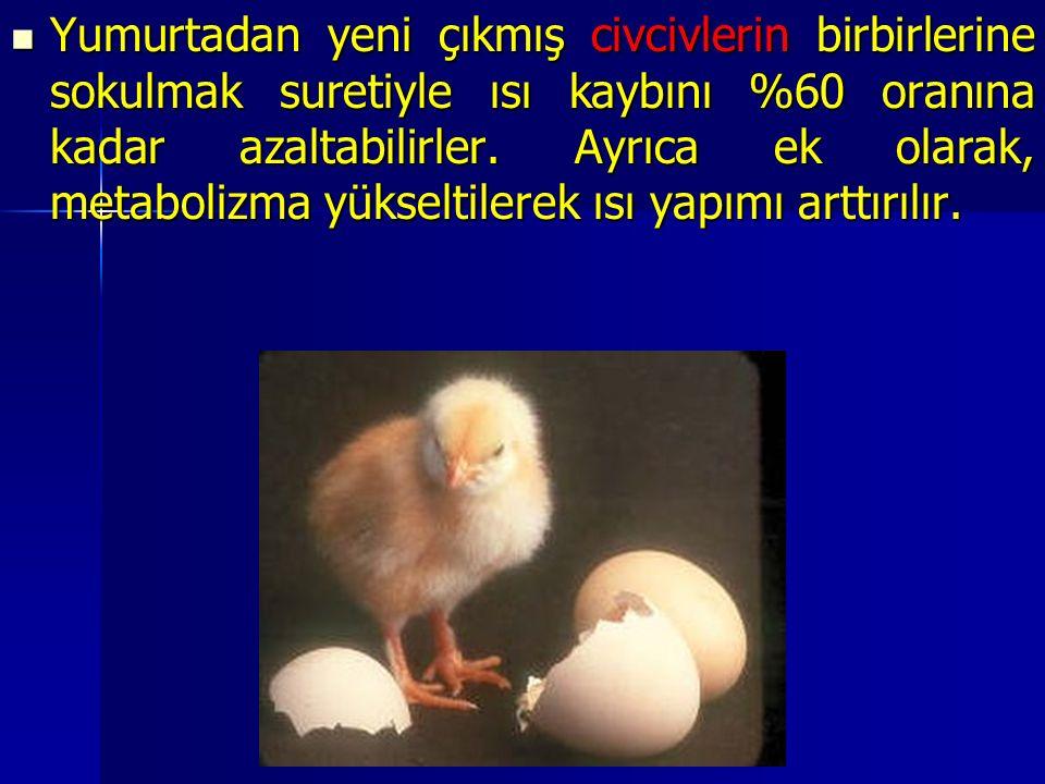 Yumurtadan yeni çıkmış civcivlerin birbirlerine sokulmak suretiyle ısı kaybını %60 oranına kadar azaltabilirler.
