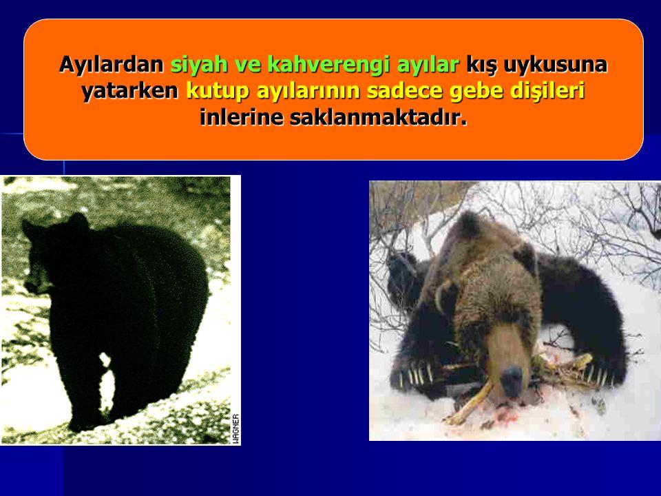 Ayılardan siyah ve kahverengi ayılar kış uykusuna yatarken kutup ayılarının sadece gebe dişileri inlerine saklanmaktadır.