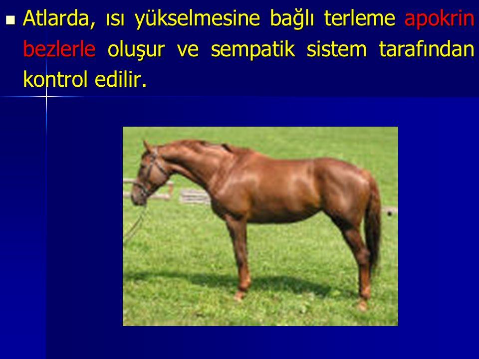 Atlarda, ısı yükselmesine bağlı terleme apokrin bezlerle oluşur ve sempatik sistem tarafından kontrol edilir.