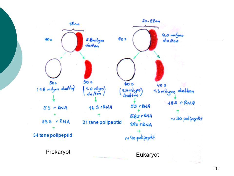 111 21 tane polipeptid 34 tane polipeptid Prokaryot Eukaryot