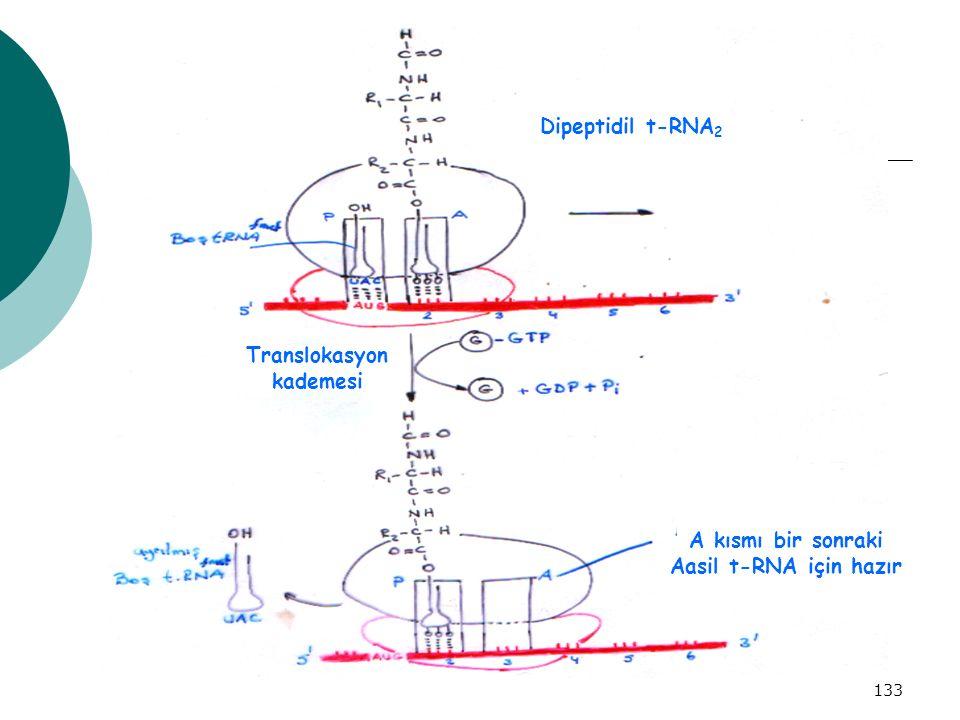 133 A kısmı bir sonraki Aasil t-RNA için hazır Dipeptidil t-RNA 2 Translokasyon kademesi