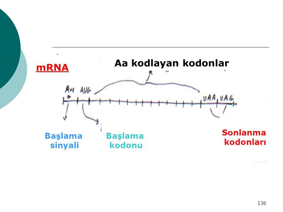 136 mRNA Başlama sinyali Başlama kodonu Sonlanma kodonları Aa kodlayan kodonlar