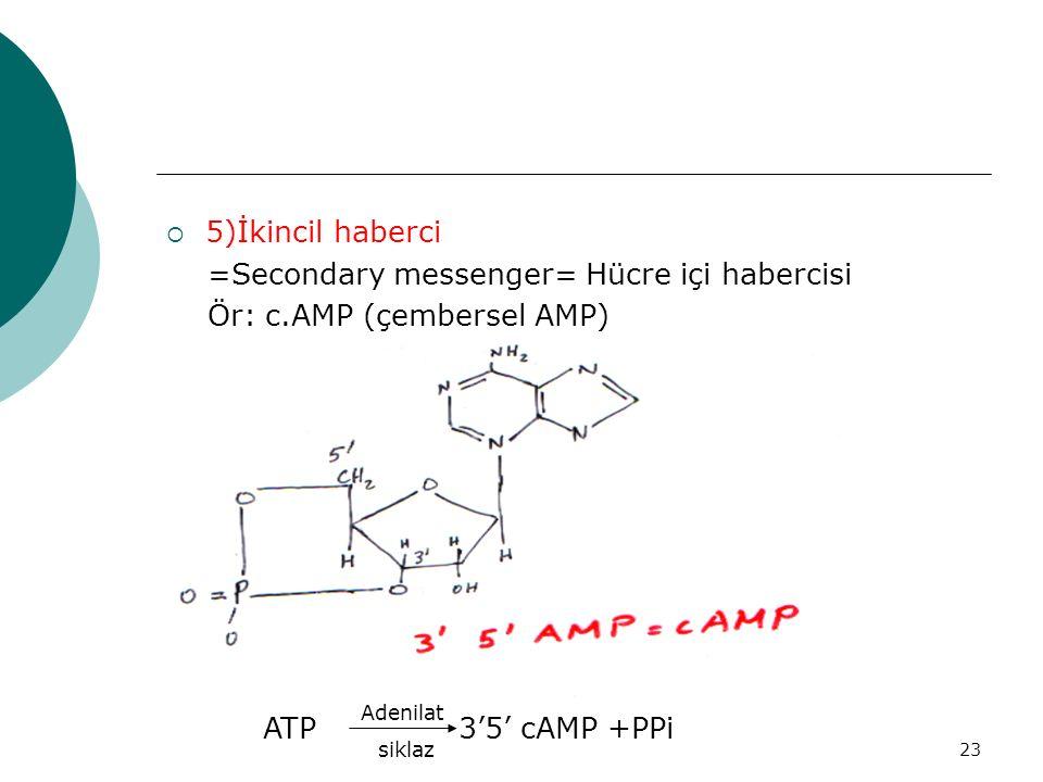 23  5)İkincil haberci =Secondary messenger= Hücre içi habercisi Ör: c.AMP (çembersel AMP) ATP 3'5' cAMP +PPi Adenilat siklaz