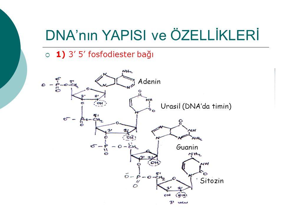 25 DNA'nın YAPISI ve ÖZELLİKLERİ  1) 3' 5' fosfodiester bağı Adenin Urasil (DNA'da timin) Guanin Sitozin