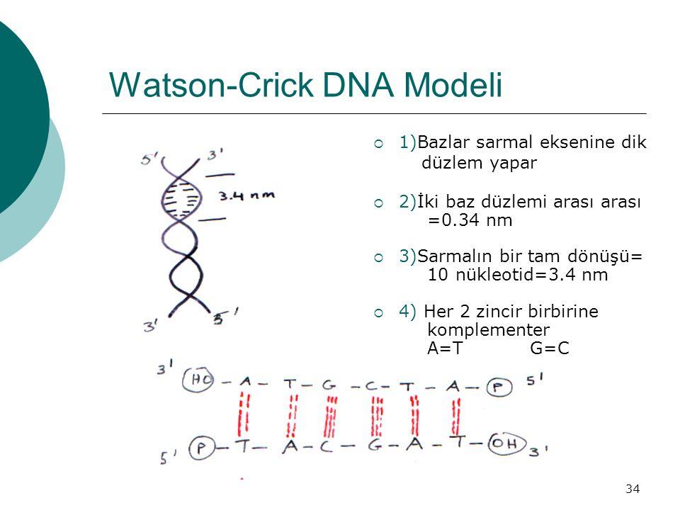 34 Watson-Crick DNA Modeli  1)Bazlar sarmal eksenine dik düzlem yapar  2)İki baz düzlemi arası arası =0.34 nm  3)Sarmalın bir tam dönüşü= 10 nükleo