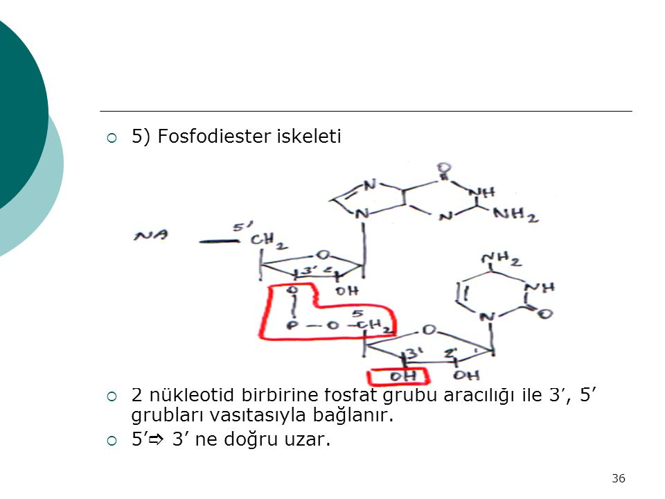 36  5) Fosfodiester iskeleti  2 nükleotid birbirine fosfat grubu aracılığı ile 3', 5' grubları vasıtasıyla bağlanır.  5'  3' ne doğru uzar.