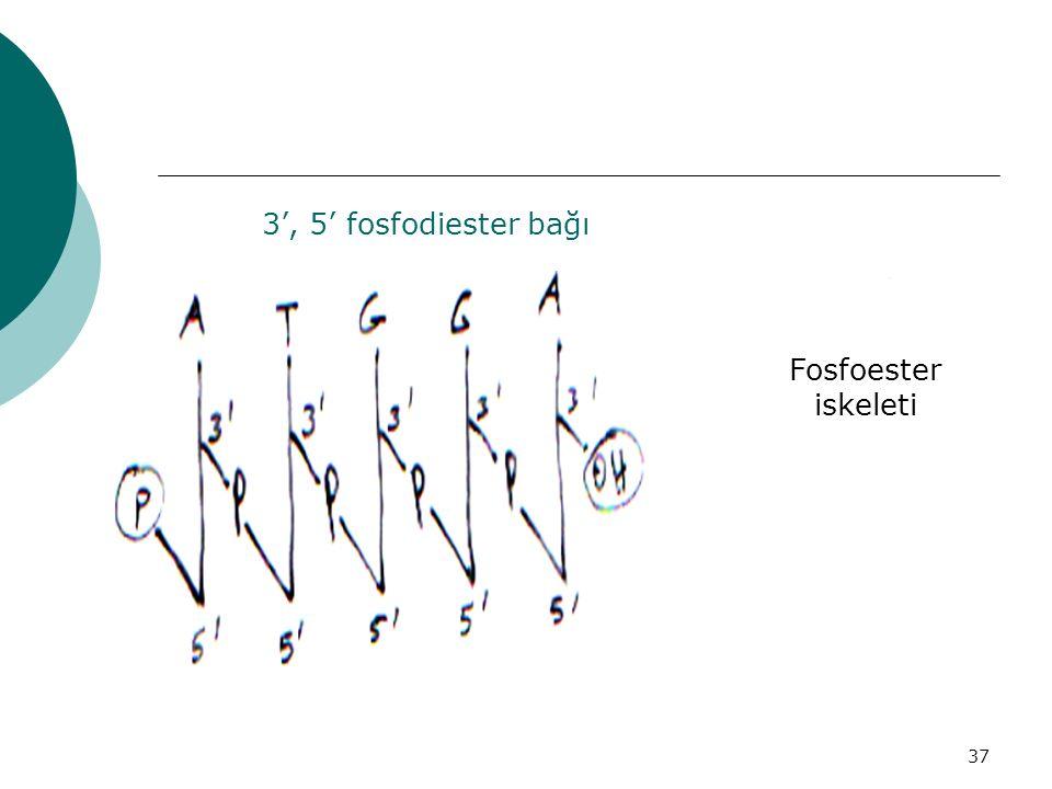 37 3', 5' fosfodiester bağı Fosfoester iskeleti