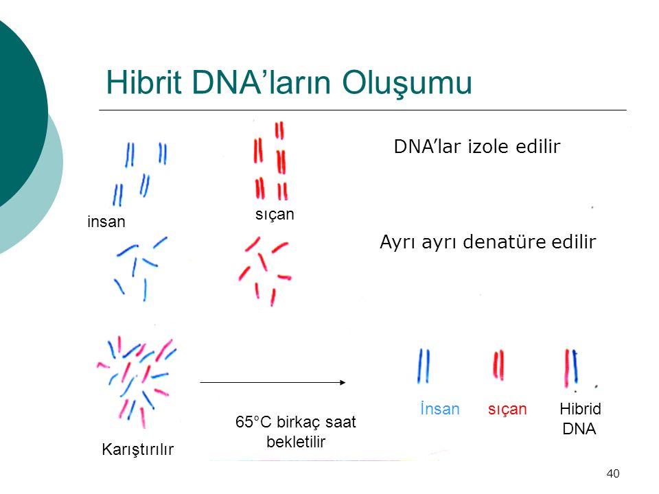 40 Hibrit DNA'ların Oluşumu DNA'lar izole edilir Ayrı ayrı denatüre edilir insan sıçan Karıştırılır 65°C birkaç saat bekletilir İnsan sıçan Hibrid DNA