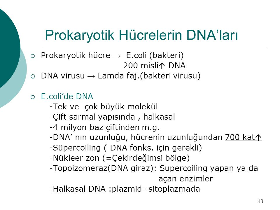 43 Prokaryotik Hücrelerin DNA'ları  Prokaryotik hücre → E.coli (bakteri) 200 misli  DNA  DNA virusu → Lamda faj.(bakteri virusu)  E.coli'de DNA -T