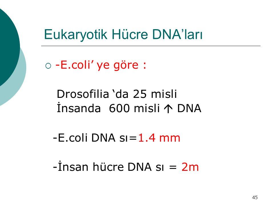 45 Eukaryotik Hücre DNA'ları  -E.coli' ye göre : Drosofilia 'da 25 misli İnsanda 600 misli  DNA -E.coli DNA sı=1.4 mm -İnsan hücre DNA sı = 2m