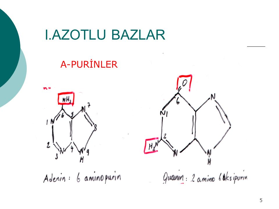 5 I.AZOTLU BAZLAR a.PURİNLER A-PURİNLER