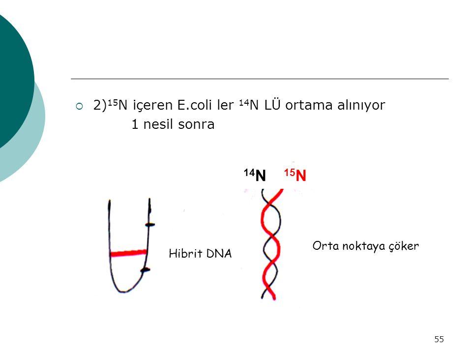 55  2) 15 N içeren E.coli ler 14 N LÜ ortama alınıyor 1 nesil sonra 14 N 15 N Hibrit DNA Orta noktaya çöker