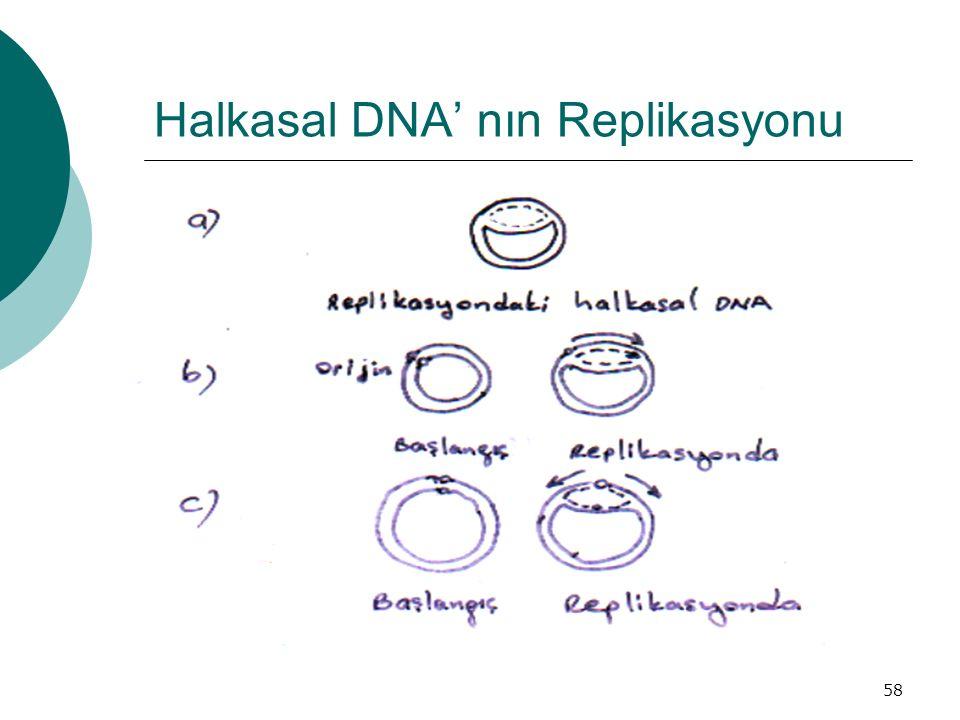 58 Halkasal DNA' nın Replikasyonu