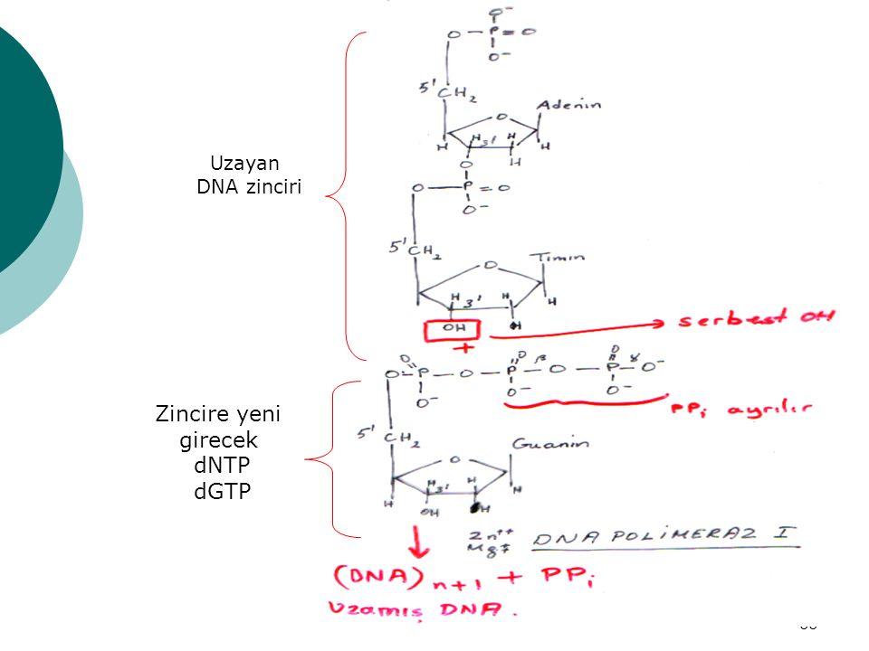 66 Uzayan DNA zinciri Zincire yeni girecek dNTP dGTP