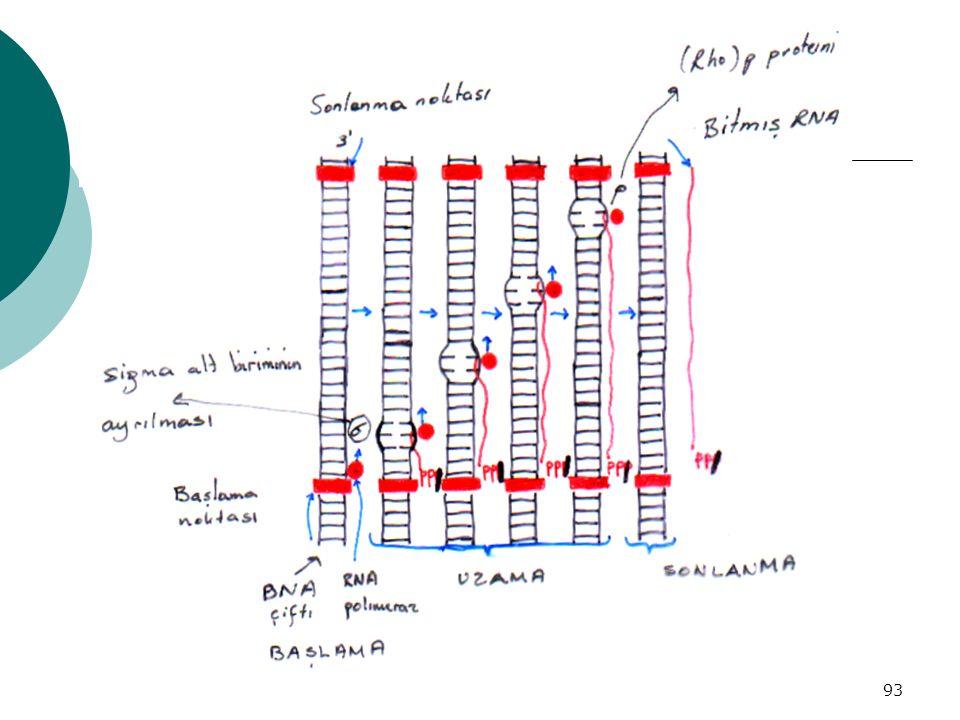 94 Transkripsiyonun İnhibisyonu  Aktinomisin D: Prokaryot ve eukaryotlarda ; DNA sarmalında G-C arasına oturur, transkripsiyonu kitler ve zincir uzayamaz  Akridin D: Aktinomisin D gibi aktivite  Rifampicin D: Prokaryotlarda RNA polimerazın bir alt birimine bağlanarak enzimi bloke eder