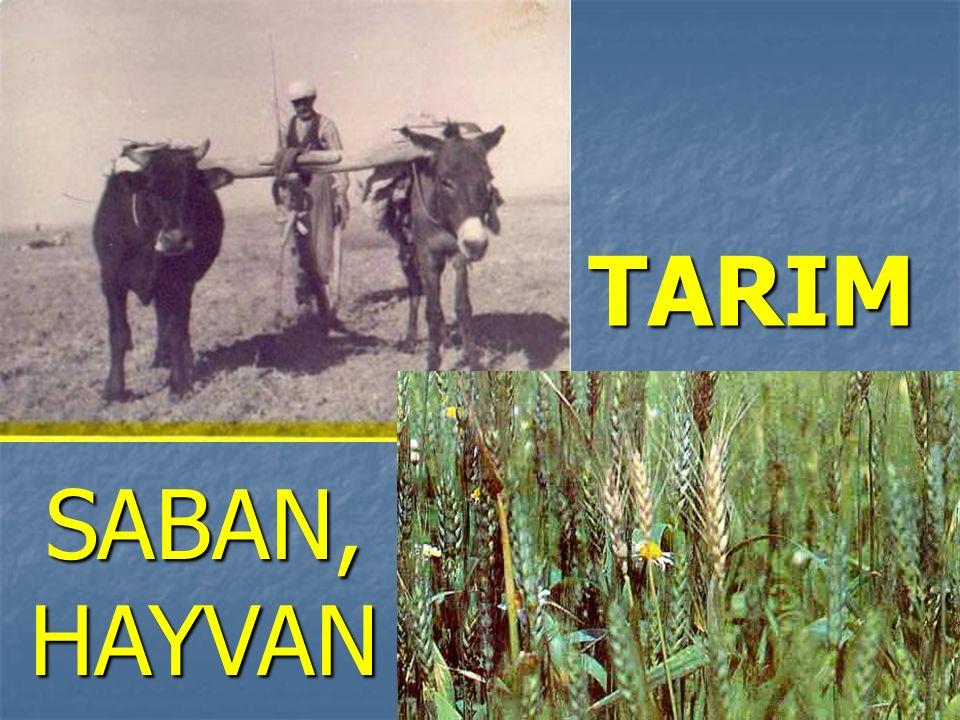 TARIM SABAN, HAYVAN